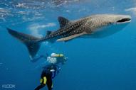 Oslob Whaleshark Cebu